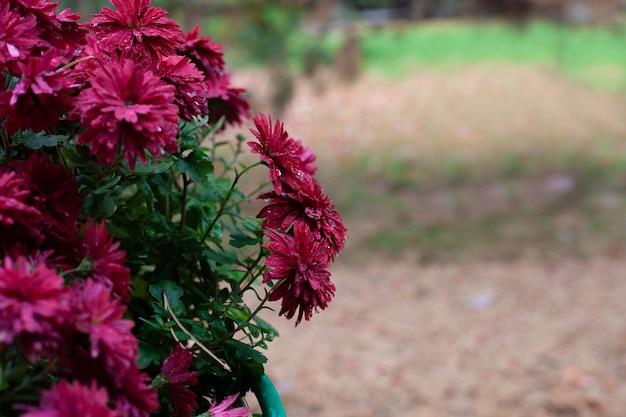 Chrysanthemum bloeit kleurrijke struik van bordeauxrode bloemen geplant in de herfsttuin en ongericht achtergr...