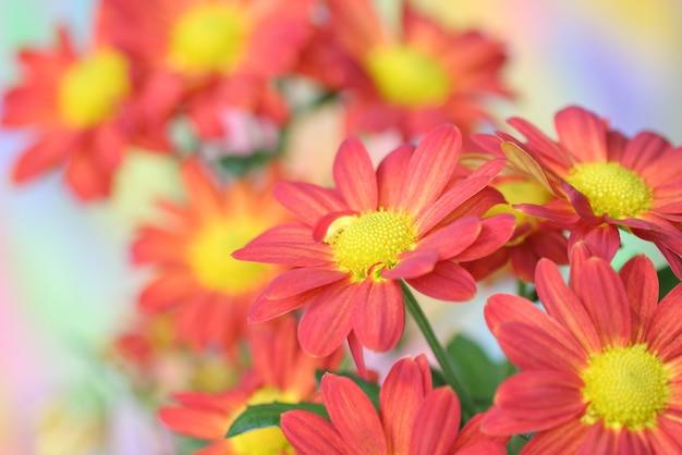 Chrysanthemum bloem