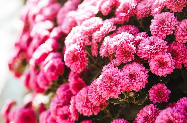 Chrysanthemum bloemen bloeien in de tuin. schoonheid van herfstbloemen.