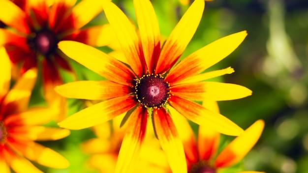 Chrysanthemum close-up, lentebloemen geel rode kleur, planten voor het decoreren van de tuin en bloembedden.