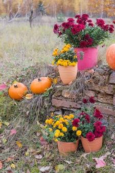 Chrysanthemum in bloemenpotten en oranje pompoenen in de herfsttuinen dichtbij oude bakstenen muur