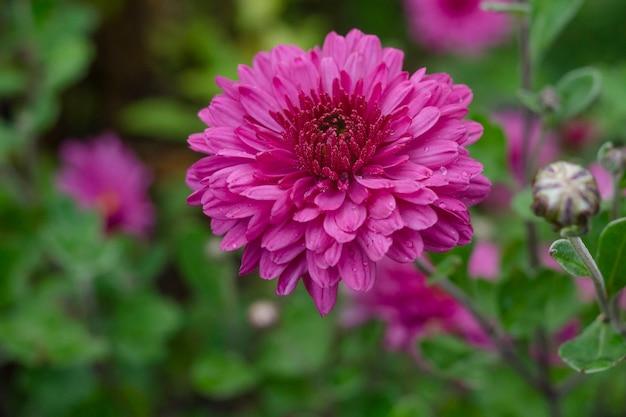 Chrysanthemum rozenstruik in de tuin na regen.