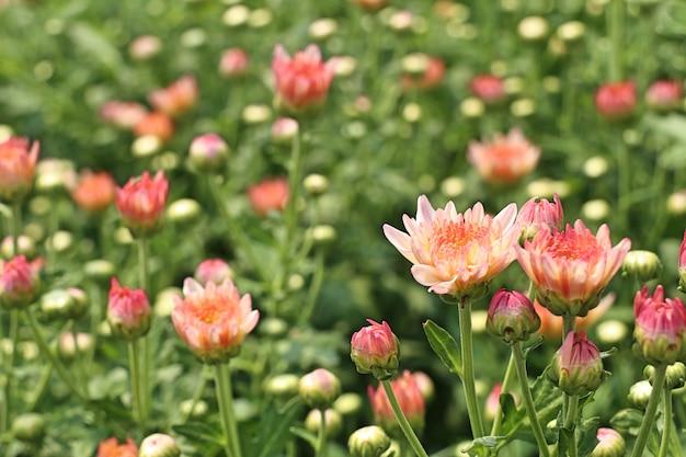 Chrysanthemumbloem in tropisch