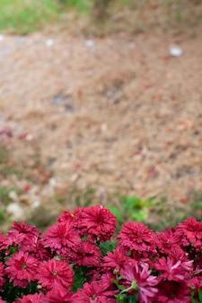 Chrysanthemumstruiken in tuin mooie bordeauxrode bloemen op seizoensgebonden herfstachtergrond en onscherp...