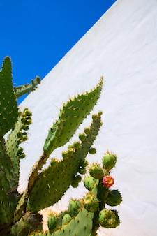Chumbera nopal cactusvijgvruchten