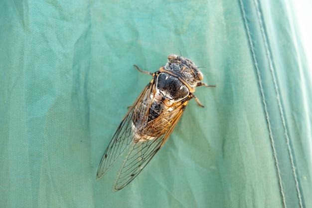 Cicade insect, cicada macro, cicada zit op een tak in natuurlijke habitat.