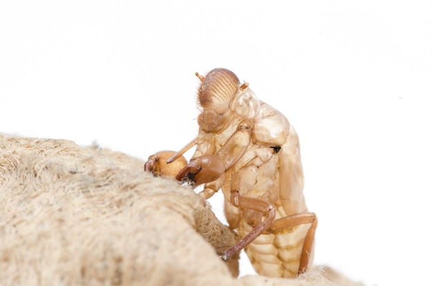 Cicade slough op witte achtergrond wordt geïsoleerd die