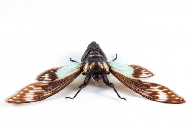 Cicadidae sp cicade