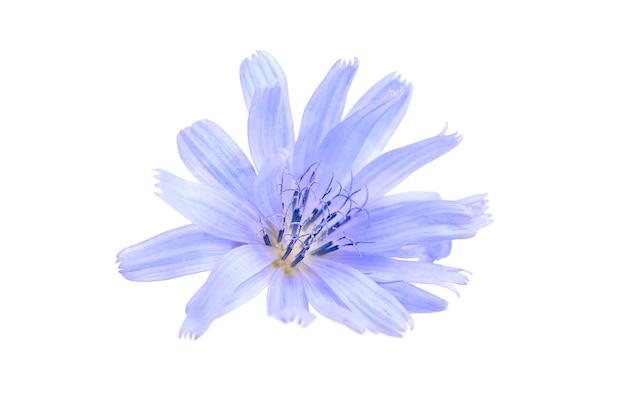 Cichorei blauwe bloem plant geïsoleerd op een witte muur