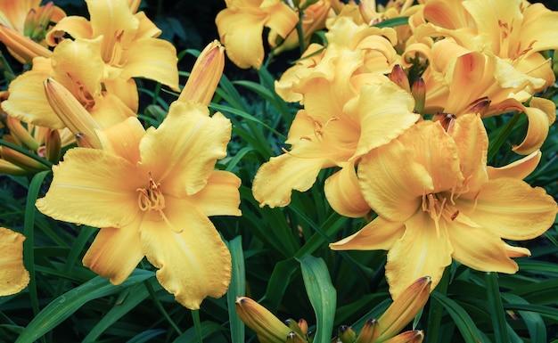 Citroen daglelie weelderig geel bloeiende plant