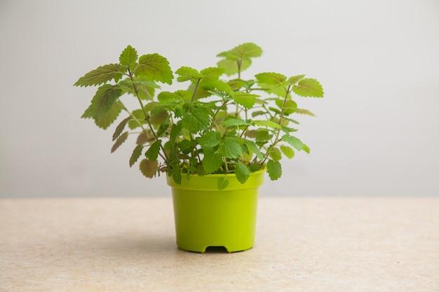 Citroenbalsem. melissa gekweekt uit zaden in een groene pot