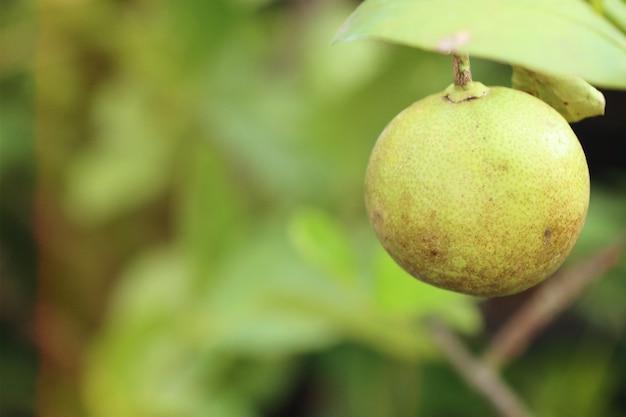 Citroenen boom in tropisch