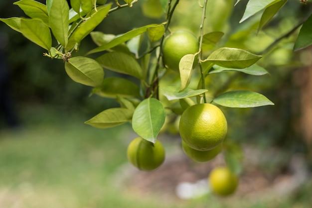 Citroenen op de tak van een citroenboom