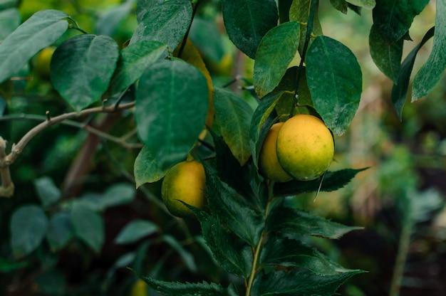 Citroenen op een tak met groene bladeren in een close-up van het installatiekinderdagverblijf. verse, sappige citrusvruchten rijpen.
