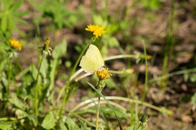Citroengevlekte vlinder chaetodon citrinellus chaetodon nigripes