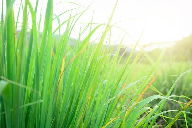 Citroengras geteeld in de moestuin, kruiden hebben geneeskrachtige eigenschappen.