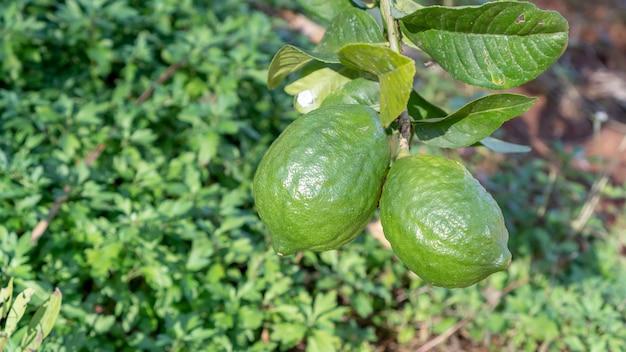 Citrus bergamia fruitplant in een tuin close-up
