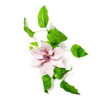 Clematis bloemen en bladeren geïsoleerd op een witte achtergrond uitknippad opgenomen bloemstuk