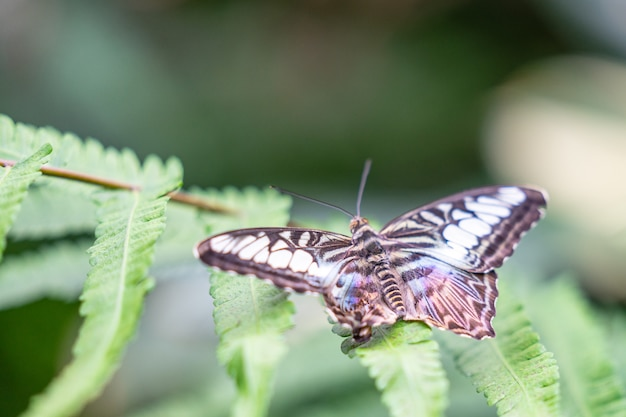 Clipper vlinder