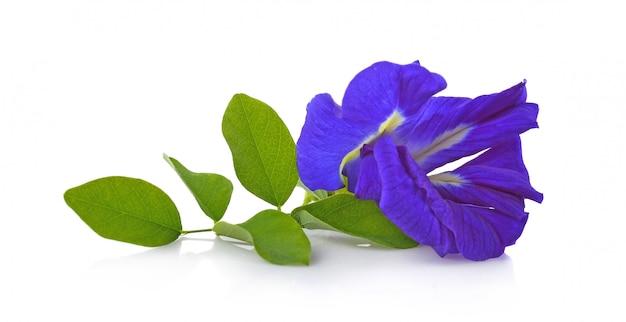 Clitoria ternatea of aparajita-bloem op witte achtergrond wordt geïsoleerd die