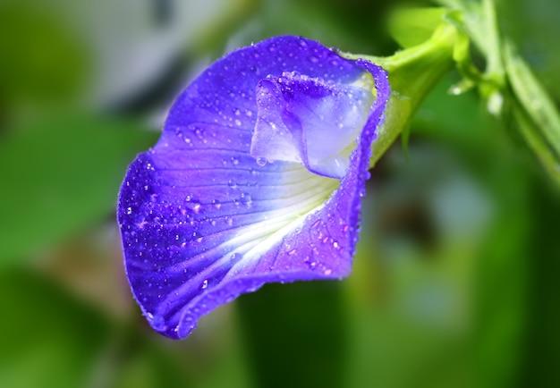 Clitoria ternatea of aparajita-bloem van indisch subcontinent