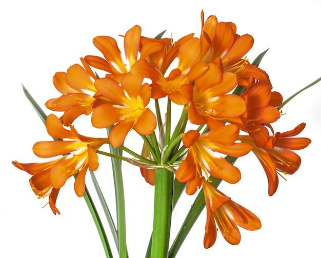 Clivia, een grote oranje bloem op een witte achtergrond.