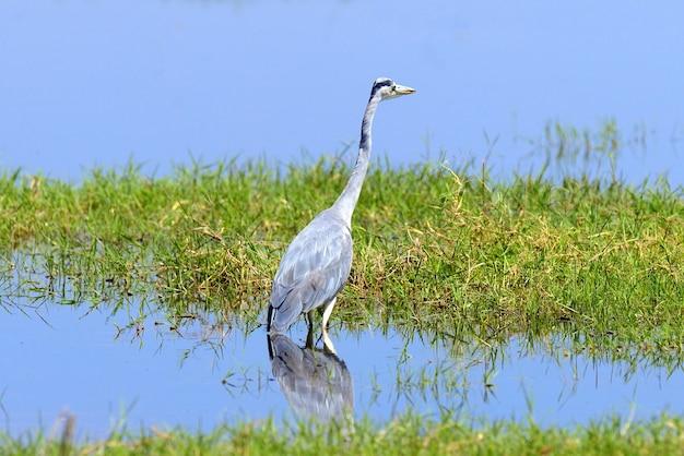 Close-grijze reiger in een gras aan de rivierkust
