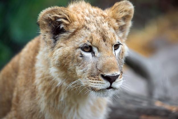 Close portret jonge leeuwenwelp in het wild