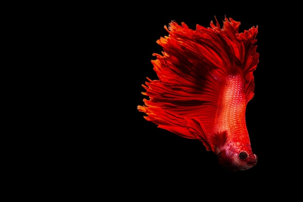 Close-up achtergrond dier aquarium vechten betta vis