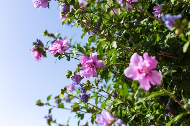 Close-up beeld van een natuur groen blad met paarse bloemen hibiscus syriacus tegen een blauwe hemel