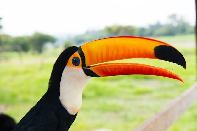 Close-up beeld van een tropische kleurrijke mooie grappige brazilië gevederde vogel van toekan in het wild met grote heldere oranje open snavel zonnige dag buiten op onscherpe natuurlijke achtergrond, horizontale foto