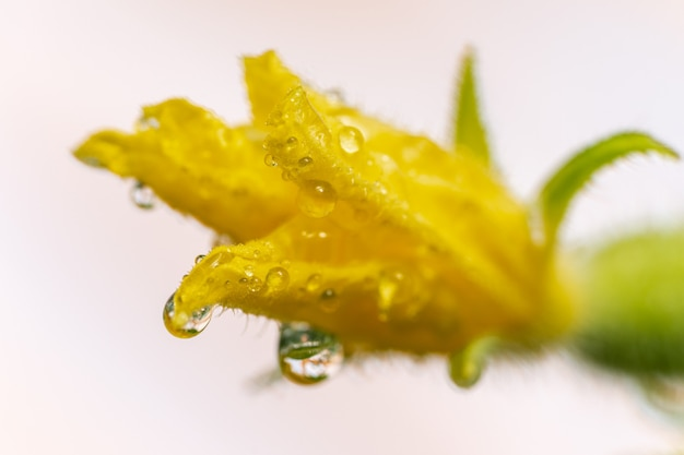 Close-up beeld van gele bloemblaadjes van bloeiende komkommer groeien in kas op agrarische boerderij. macrofotografie zomer natuurlijke versheid eco groenten.