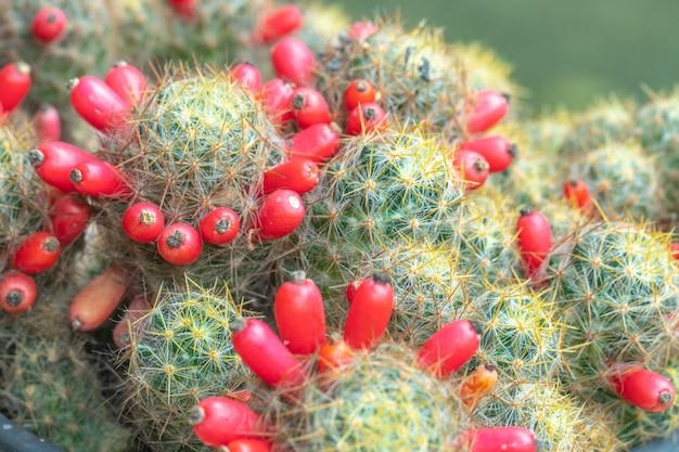 Close-up beeld van groene cactus als achtergrond (bovenaanzicht, textuur)