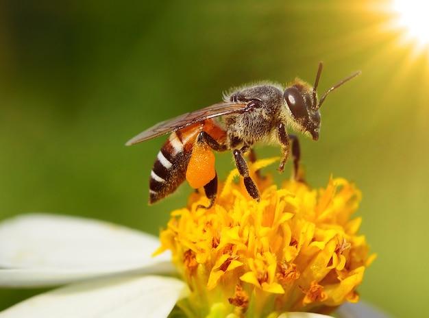 Close-up bijen op bloem