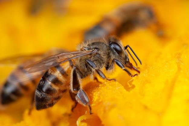 Close-up bijen stuifmeel uit de bloem halen
