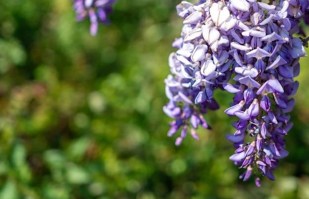 Close-up blauweregen bloei.