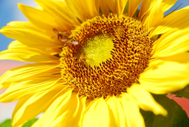Close up bloeiende zonnebloem op blauwe hemelachtergrond