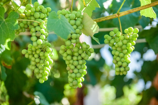 Close-up bos van verse groene druiven aan de wijnstok met groene bladeren in de wijngaard. fruit.