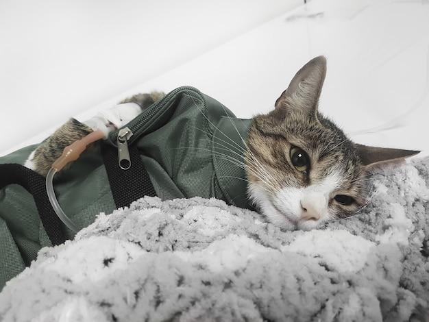 Close up.cat met een druppelaar in een veterinaire kliniek. professionele veterinaire zorg