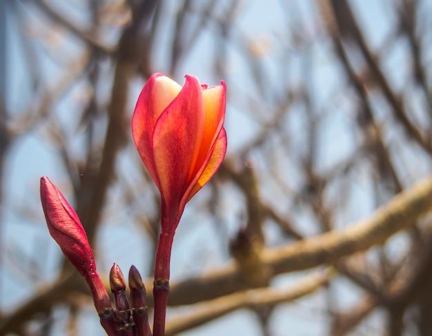 Close-up de kleurrijke plumeria op aardachtergrond