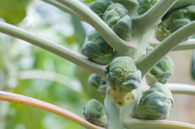 Close-up de stengel van spruitjes in een tuin met de onscherpe achtergrond.