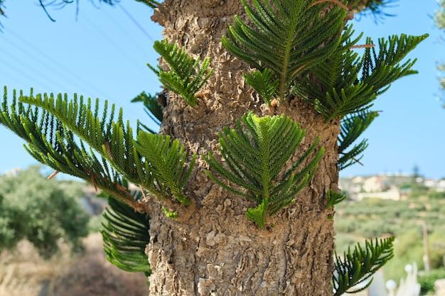 Close-up deel van de schors en bladeren van een exotische boom araucaria heterophylla. achtergrondhemel, mediterraan landschap. toerisme, reizen, vrije tijd, kopieer ruimte