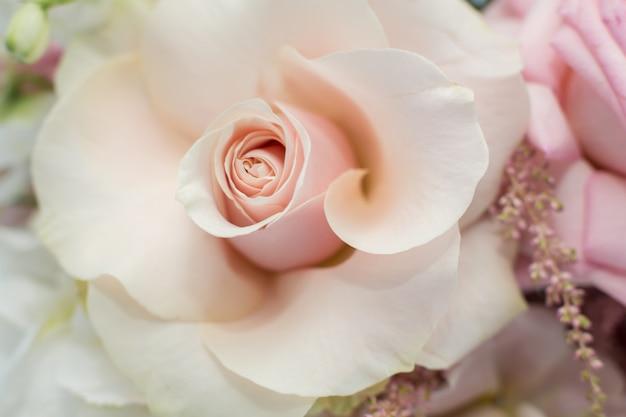 Close-up delicate knop van verse roze roos met ongevouwen bloemblaadjes