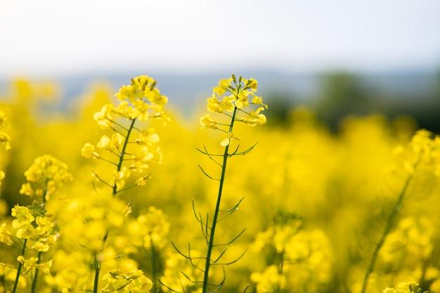 Close-up detail van bloeiende gele koolzaad planten in landbouw boerderij gebied in het voorjaar.