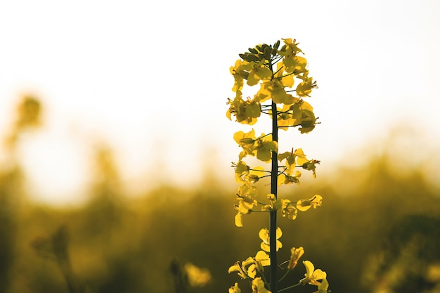 Close-up detail van bloeiende gele koolzaad planten in landbouw boerderij veld in het voorjaar