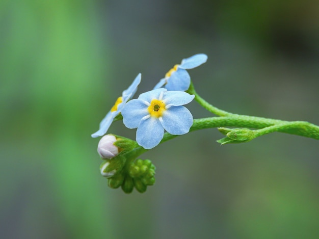 Close-up die van alpiene vergeet-mij-nietjebloemen met groene aard is ontsproten