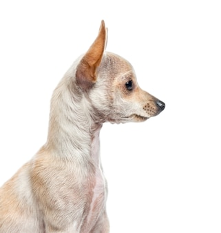 Close-up die van chihuahua-puppy, aan de kant kijkt, op wit wordt geïsoleerd