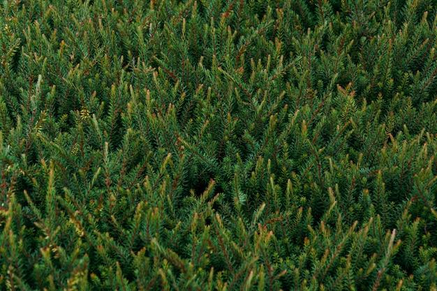 Close-up die van de bladeren van de pijnboomboom is ontsproten