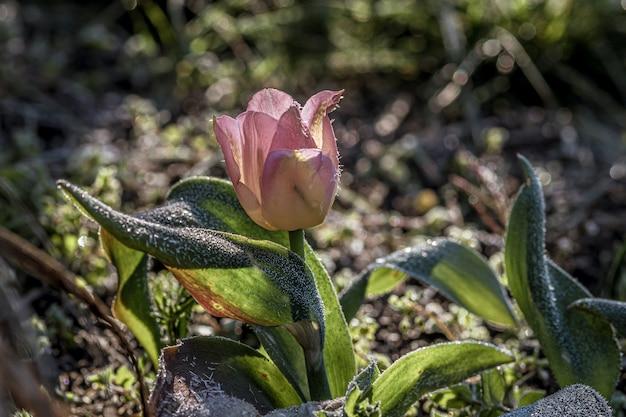 Close-up die van de tulpenbloem van een mooie roze sprenger in een tuin is ontsproten