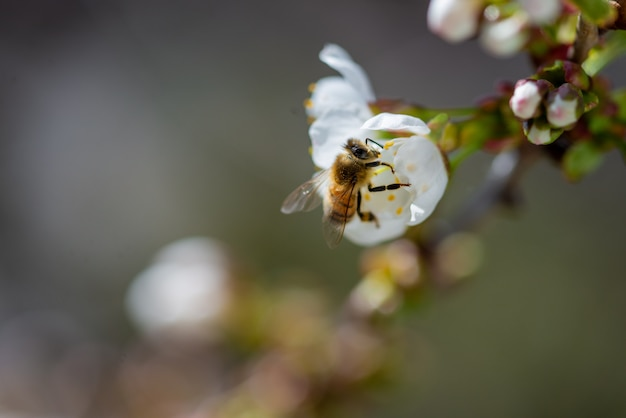 Close-up die van een bij is ontsproten die op een witte bloem van de kersenbloesem bestuift
